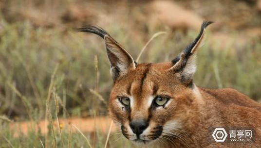 Caracal_Caracal-wikipedia-commons-1021x580