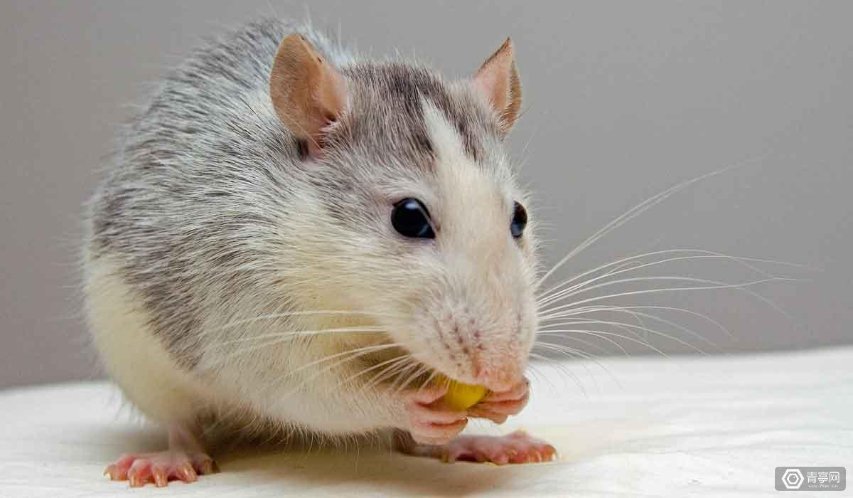 科学家们把小白鼠放到了VR里,结果竟然发现…