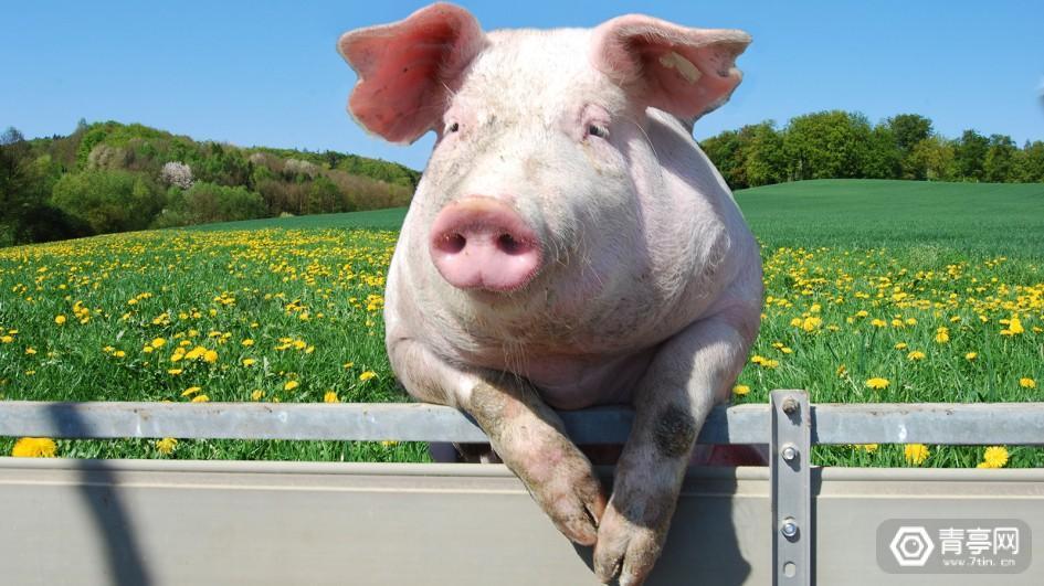 人工智能养猪,到底靠不靠谱?